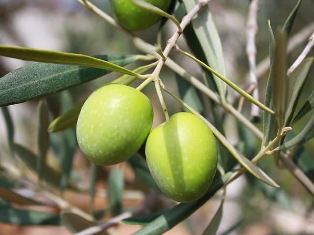 gravidanza olive