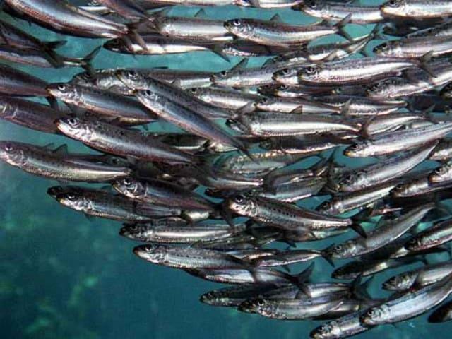 pesce azzurro elenco