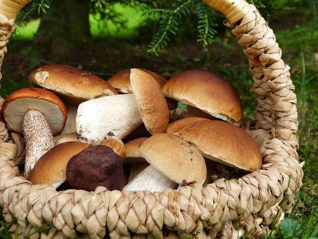 funghi porcini gravidanza foto