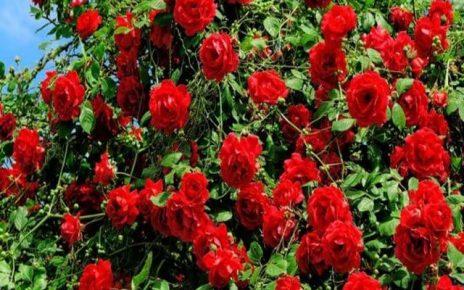 frasi rose rosse