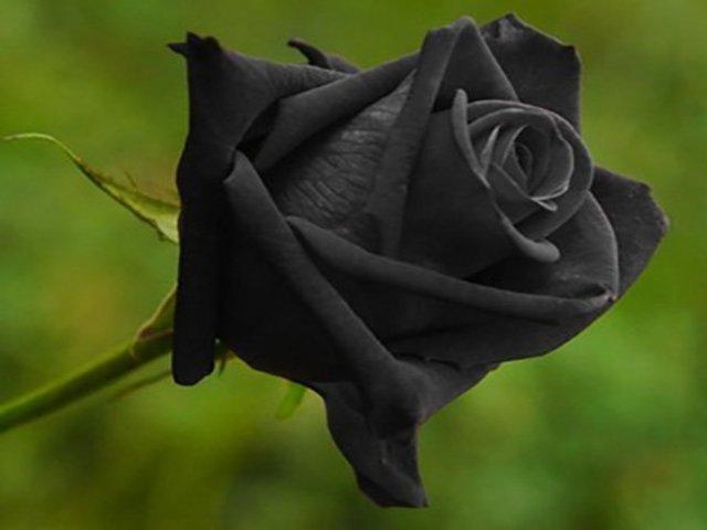 immagini di rose nere
