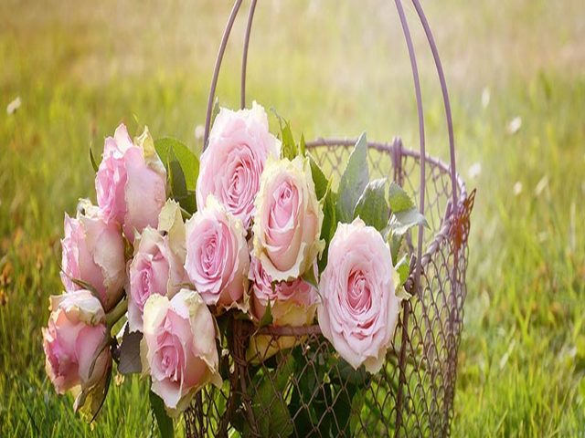 immagini sulle rose
