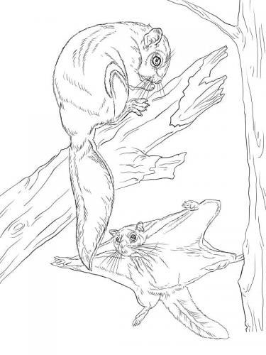 disegni di scoiattoli volanti