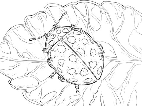 coccinelle insetti