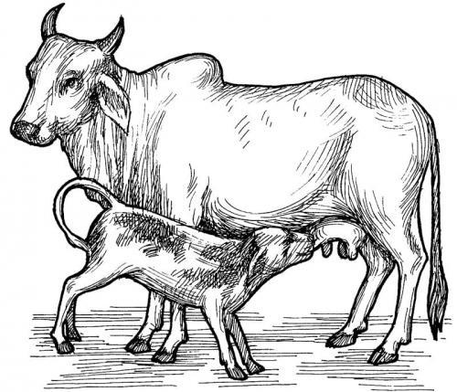 disegno a matita mucche