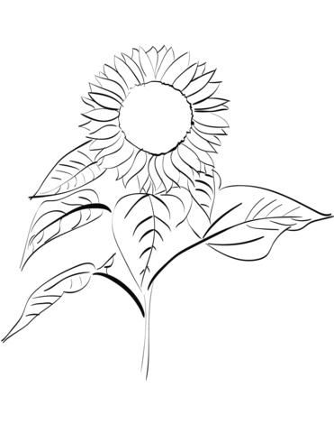 disegno a matita girasole