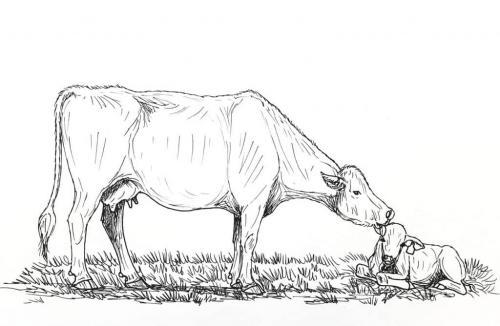 mucche che pascolano