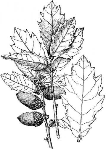disegno di foglie