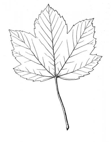 foglie autunnali disegni