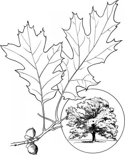 foglie da stampare e colorare