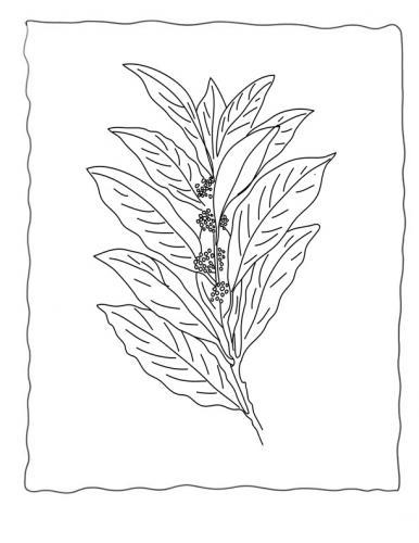 foglie di Alloro disegno