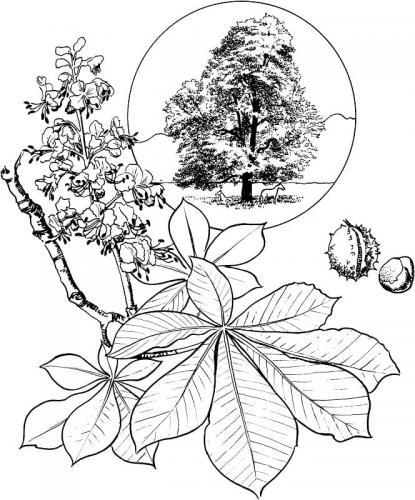 foglie di Castagno da colorare