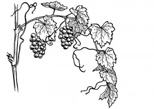 foglie uva disegni