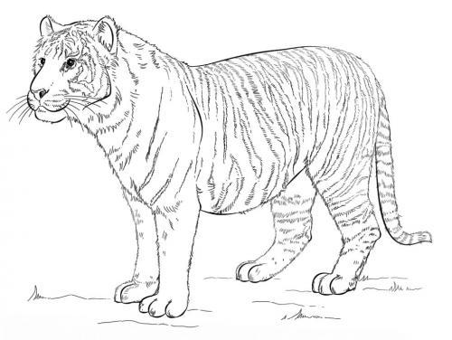 immagini da colorare tigre di Sumatra