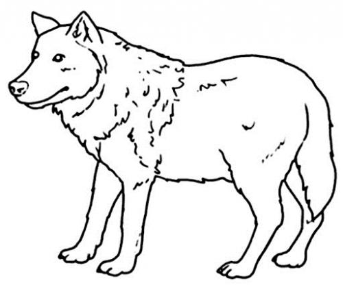 immagini del lupo