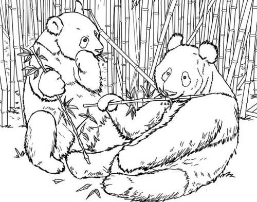 immagini di due panda