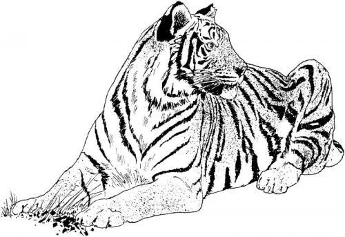 immagini della tigre bianca