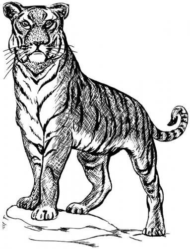 immagini della tigre