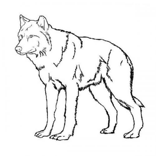immagini di cane lupo