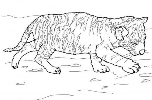 immagini di cuccioli di tigre