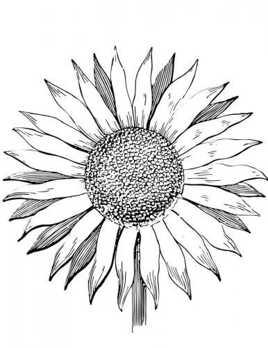 immagini di girasoli fiori