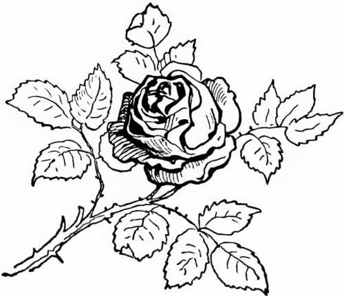 disegno bello di una rosa
