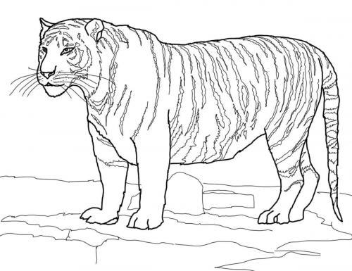 immagini di tigre bianca