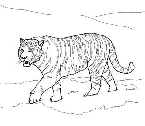 immagini di tigre siberiana
