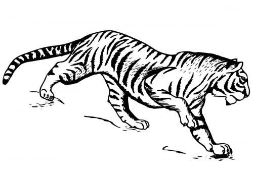 immagini di tigre