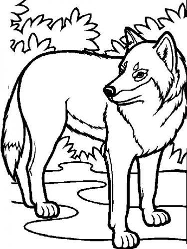 immagini di un lupo