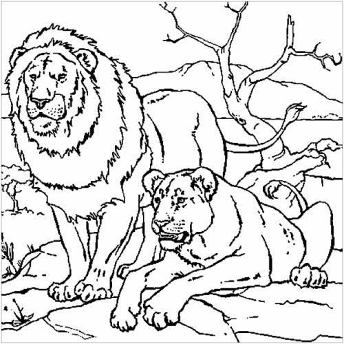immagini leoni e leonesse