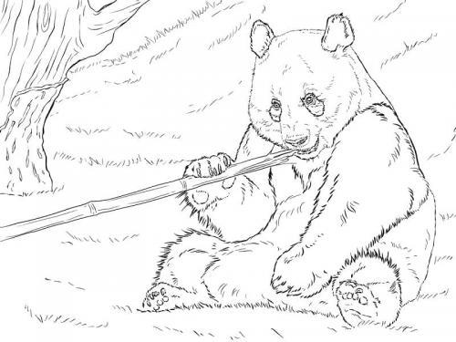 immagini panda animale che mangia