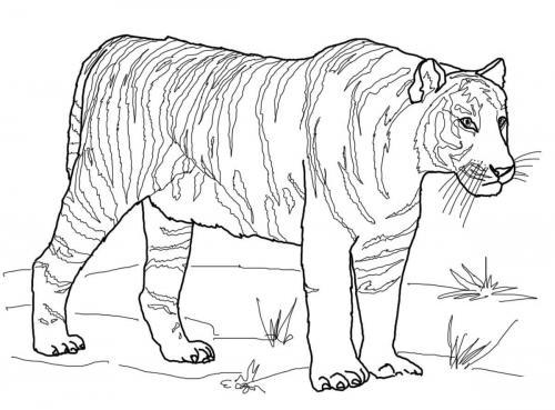 immagini tigre Bengala da scaricare