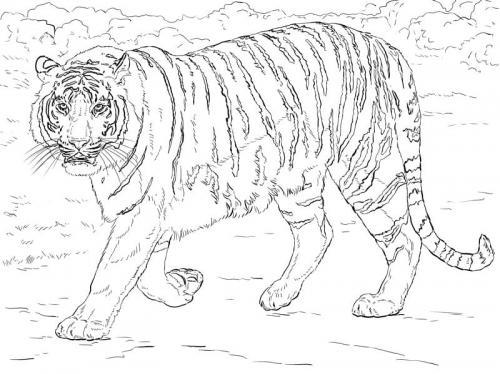 immagini tigre del Bengala