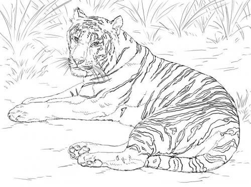 immagini tigre Siberiana