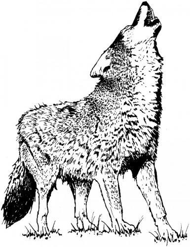 lupo disegno