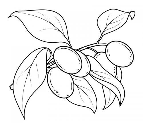 disegno ramo di ulivo