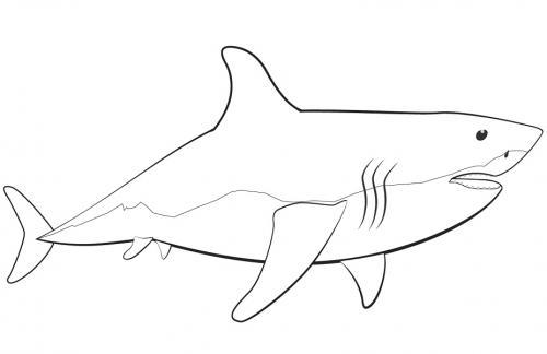 squalo che nuota a destra