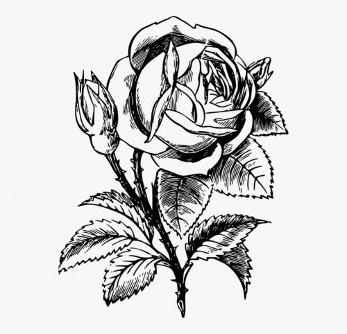 disegno bello di rosa