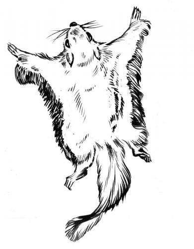 scoiattoli volanti