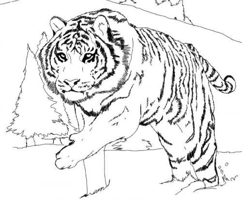 tigre bianca disegno