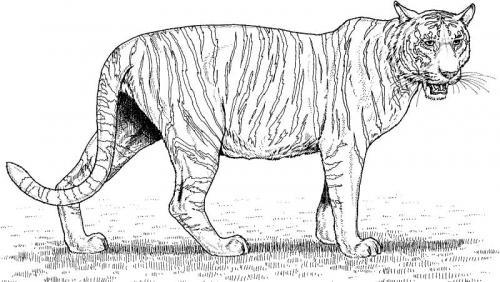 tigre bianca immagini