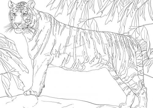 tigre del Bengala immagini