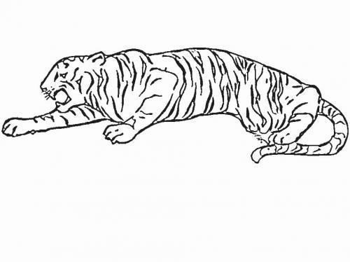 tigre siberiana disegno