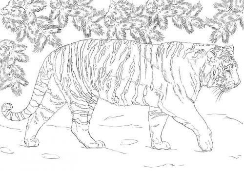 tigre siberiana immagini